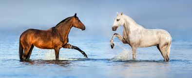 Couple horse in ocean. White and bay  horse standing in water at sunrise.  Panorama for website Stock Photo