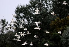 Soaring herd of white pigeons Stock Photography