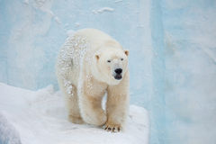 White Bear Royalty Free Stock Photo