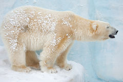 White bear Royalty Free Stock Images