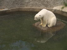 White bear. In zoo sitting on small island Royalty Free Stock Photo