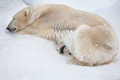 White bear Royalty Free Stock Photos