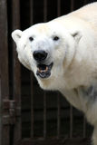 White bear. In zoological garden Stock Photography