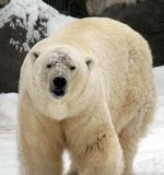 White bear. The white bear from Moscow zoo royalty free stock image
