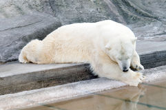 White bear. A white bear resting near the water pool stock images