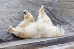 White bear. A white bear having rest royalty free stock image