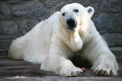 white bear Zdjęcie Stock