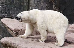 White bear. Is holding food in  mouth Stock Images