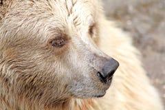 White bear. Close up of the white bear muzzle Royalty Free Stock Image