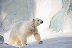 White bear Stock Photo