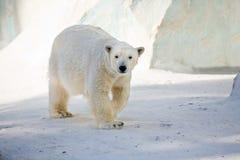 White bear Stock Images