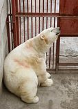 White bear. Bask in the sun Royalty Free Stock Photo