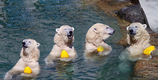 White bear with ball. Phase of playing white bear with ball in pool royalty free stock photos
