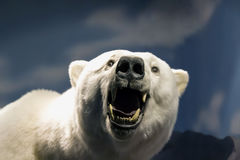The white bear. Bared and growls at the camera, against the background of snow and mountains Stock Photo
