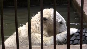 White bear in the basin of the zoo. stock video