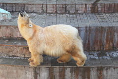 White bear. Big white bear in the zoo stock photography