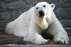 White bear. With a carrot stock photo