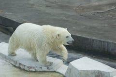 White bear cub Stock Photography