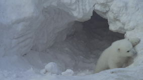 Free White Bear Cub Goes Out From A Lair (flat) Stock Photo - 75447530