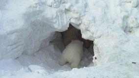 White bear cub sits near her she-bear in a snow lair