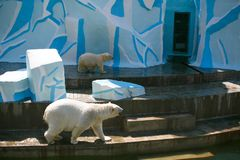 White bear with a bear cub in the zoo. White polar bear with a bear cub in a zoo on a sunny day are the same. Metaphor of motherhood, care and education in the stock photo