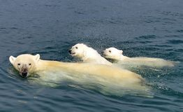 The white she-bear with the cubs floats in the Bering Sea. A polar bear, a northern bear, a umka Lat. Ursus maritimus. The world`s largest land predator royalty free stock image