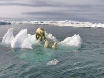 The white she-bear with cubs on the ice in the Bering Sea. A polar bear, a northern bear, a umka Lat. Ursus maritimus royalty free stock images