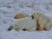 The white she-bear with cubs. A polar bear, a northern bear, a umka Lat. Ursus maritimus stock photography