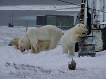 The white she-bear with cubs. A polar bear, a northern bear, a umka Lat. Ursus maritimus, the world`s largest land predator. Blurred focus royalty free stock photography