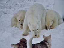 The white she-bear with cubs. A polar bear, a northern bear, a umka Lat. Ursus maritimus, the world`s largest land predator. Closeup royalty free stock photo