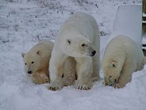 The white she-bear with cubs. A polar bear, a northern bear, a umka Lat. Ursus maritimus stock image