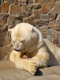 White bear after dinner. One white bear relaxing after dinner in zoo royalty free stock photos