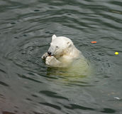 White Bear eats carrots Stock Images