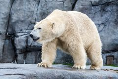 White bear. Fattened white bear with the rocky bacground royalty free stock photo