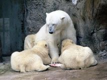 White bear feeds her cubs Royalty Free Stock Photos