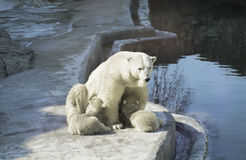White bear feeds its cubs. In zoo royalty free stock image