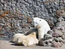 The white she-bear feeds newborn bear cubs with mi Royalty Free Stock Images