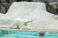 Polar bear. White bear goes for walk Royalty Free Stock Photo