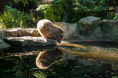 White Bear on the lake look at your reflection. Close up royalty free stock photos