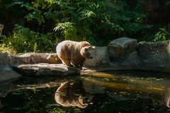 White Bear on the lake look at your reflection. Close-up royalty free stock images