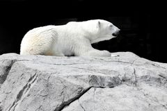 White bear lying on a rock royalty free stock photo