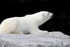 White bear lying on a rock royalty free stock photos