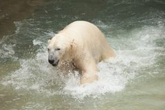 White bear Stock Image