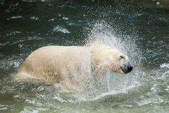 White bear Stock Images