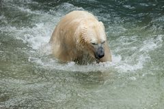White bear Stock Photography