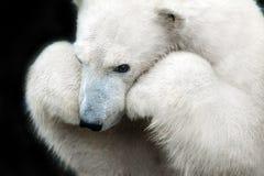 White bear portrait. Close up isolated on black background stock images