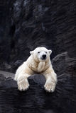 White bear on the rocks, Lying polar bear Stock Photos