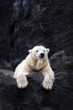 White bear on the rocks, Lying polar bear. Situated on a rock Stock Photos
