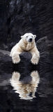White bear on the rocks, Lying polar bear situated on a rock. Reflected in water Stock Image