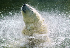 White bear. Shakes off water from its fur stock image